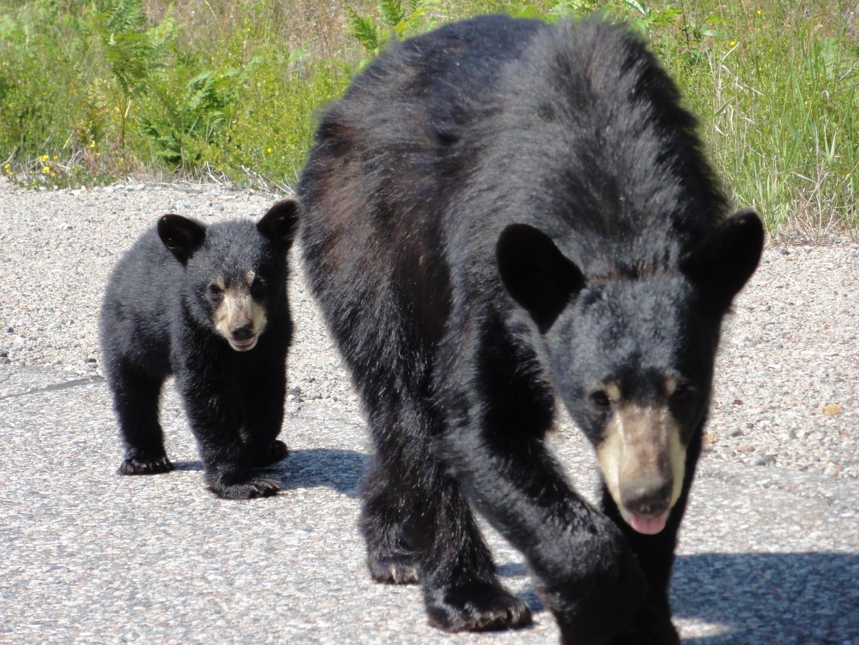 Bear,Cub 2