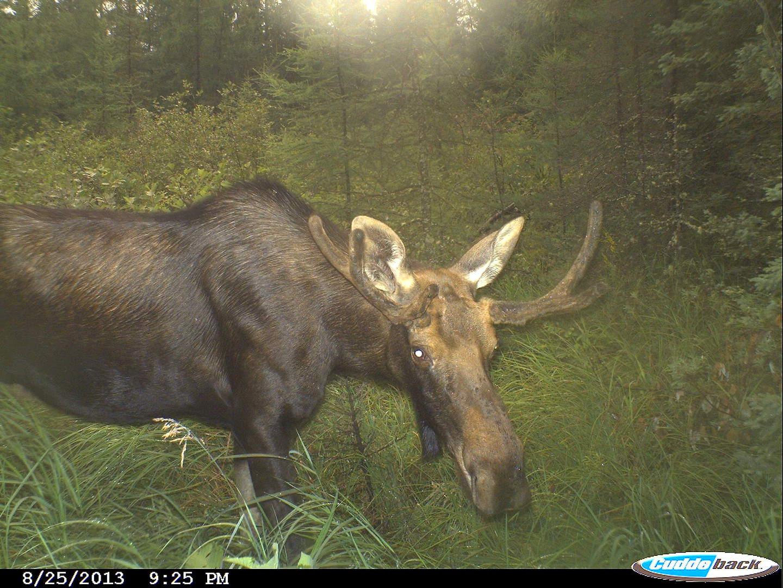moose 2013 005