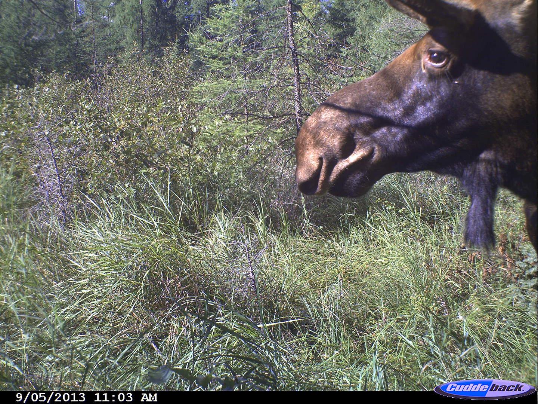 moose 2013 013