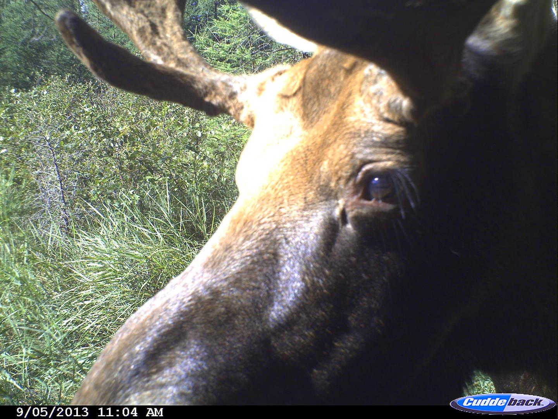 moose 2013 014
