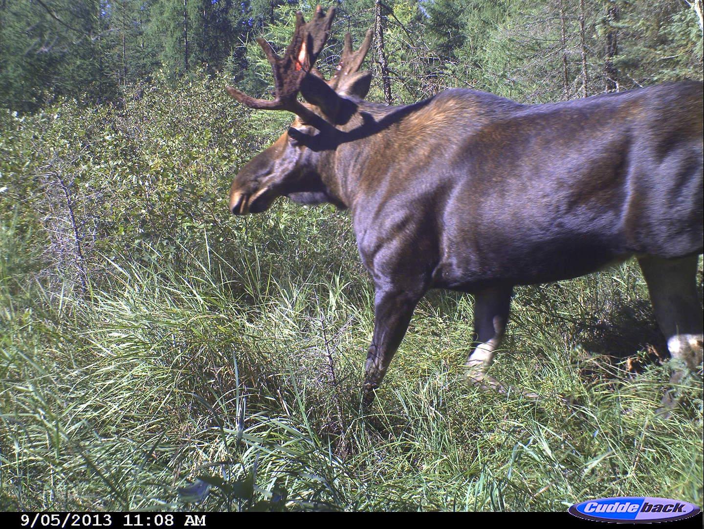 moose 2013 016