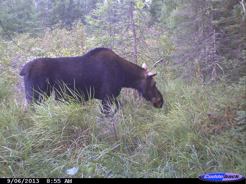 moose 2013 017