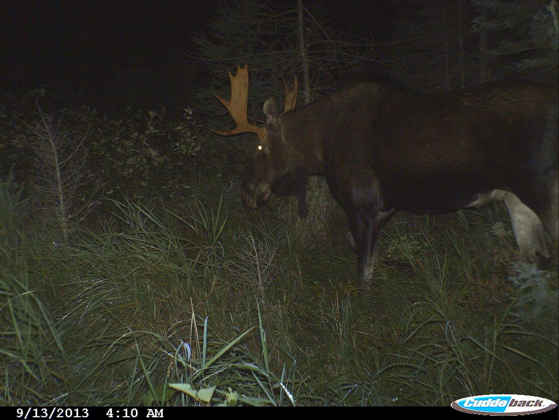 moose 2013 020