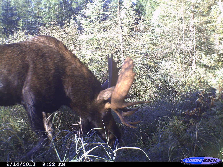 moose 2013 021
