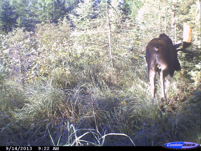 moose 2013 022